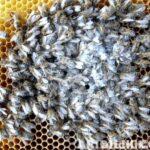 Arı Ölümleri ve Nedenleri
