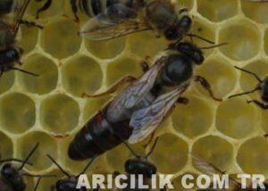 Arı Türleri ve Çeşitleri Nelerdir?