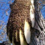 Arı Oğulu Nedir?