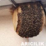 apartmanın 6.katında arı oğulu