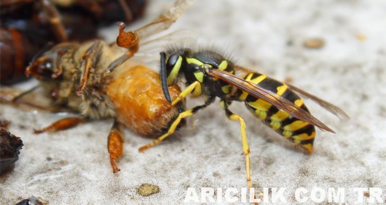 sarıca arıları ile mücadele