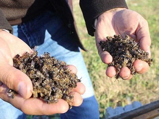 arılar kimyasal ilaçlar yüzünden ölüyor