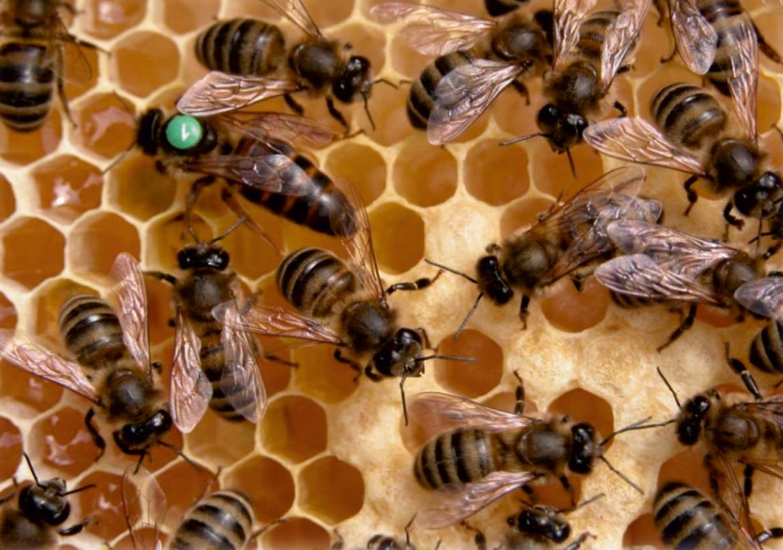 kafkas arısı nerede yaşar 10