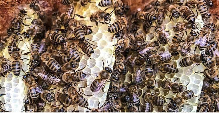 kafkas arısı nerede yaşar posof 2
