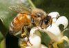 Bal Arısı Vücudunun Dış Yapısı