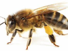 Bal Arısı Vücudunun İç Yapısı 1