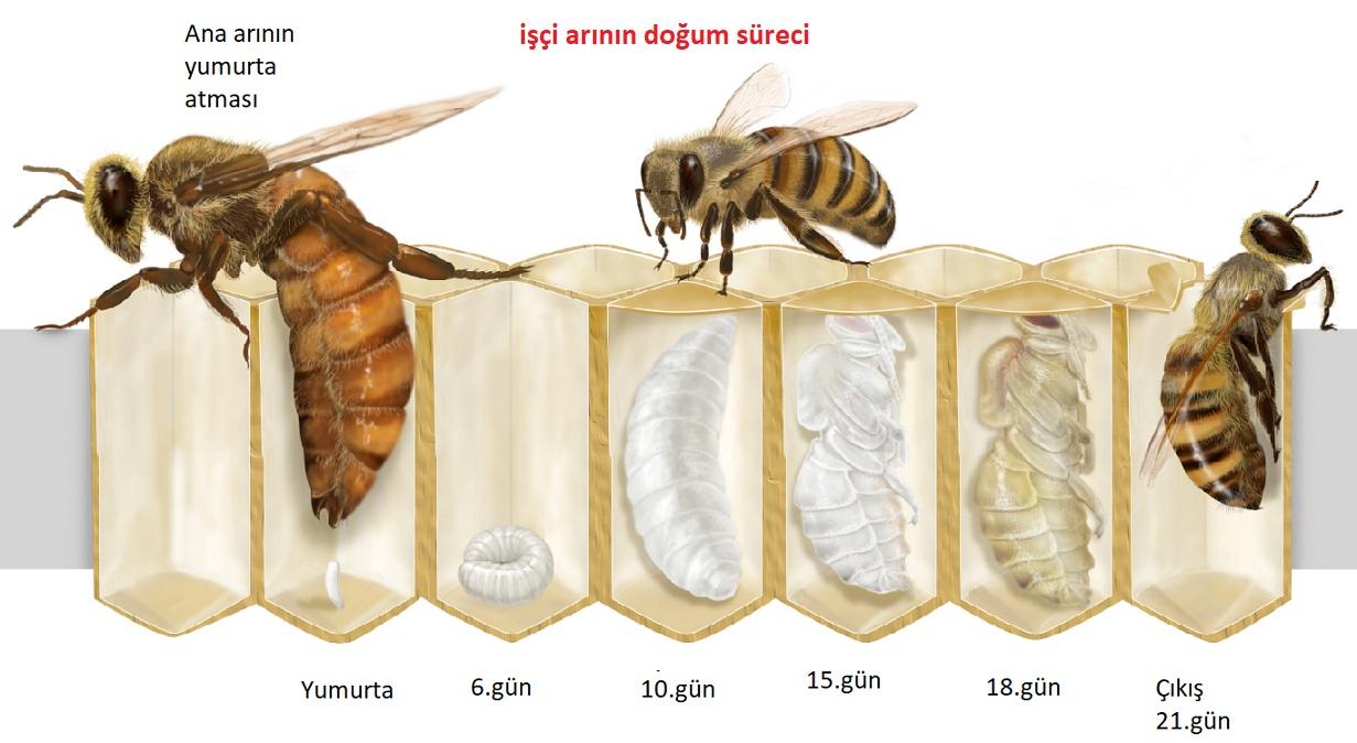 Bal Arılarının Yaşam Süresi 2