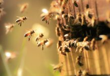 Bal Arılarının Yaşam Süresi