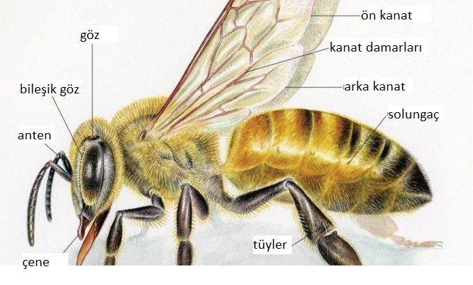Bal Arısı Vücudunun Dış Yapısı 2