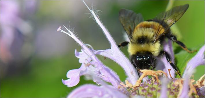 bombus arı türü