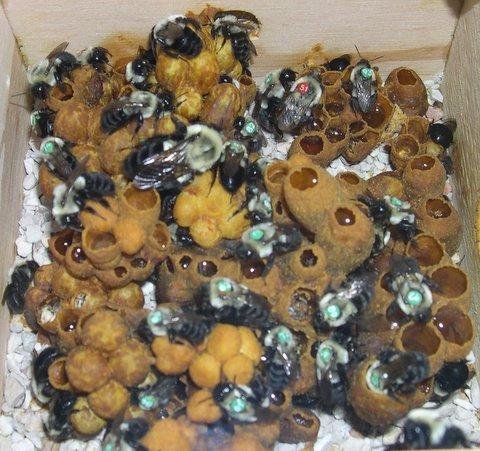 bombus arısı üretimi