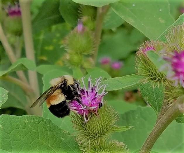 bombus arısının iğnesi