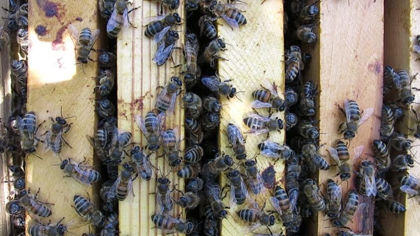 Arıların Özellikleri Nedir 1