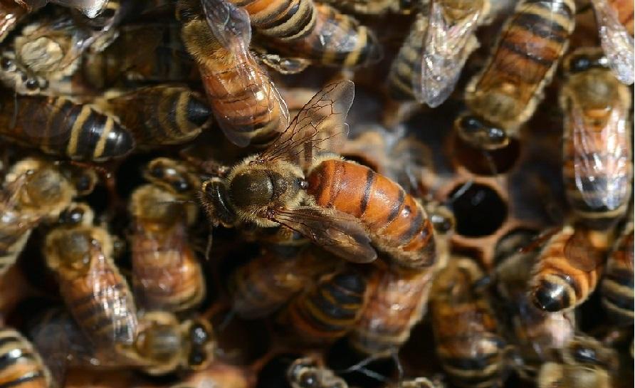 Arıların Özellikleri Nedir 2