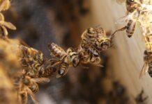 Arıların Özellikleri Nedir