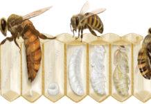Bal arısı hakkında kısa bilgi
