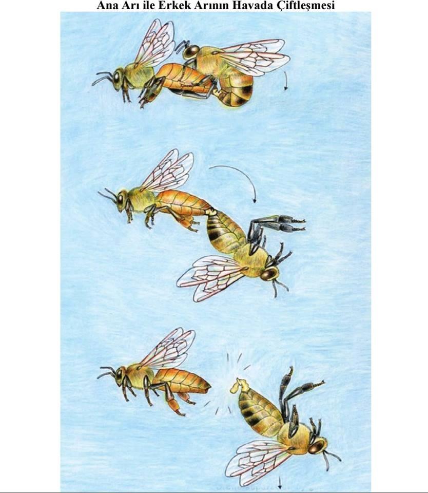 Kısaca Arıların Yaşamı 3
